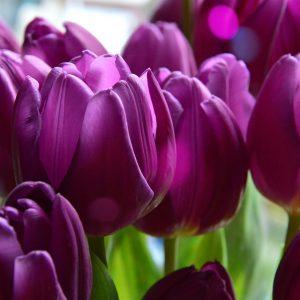 tulip-3191257_1920